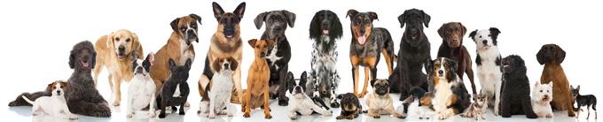 Rasy psów dla alergików