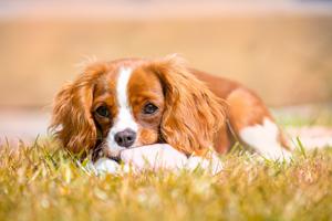 Jakie choroby spotykają psy rasy Cavalier king charles