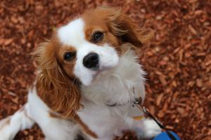 Utrzymanie psa rasy szczeniak Cavalier king charles