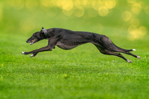 wyścigi psów - charty