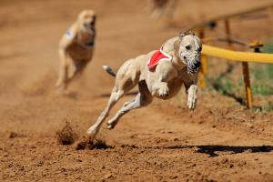 wyścigi psów w Polsce