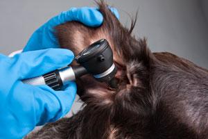 Infekcje uszu i skóry u nowofundlandów